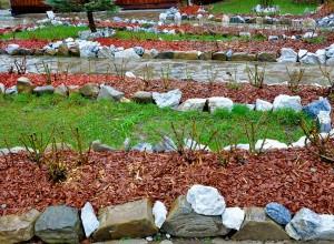 Trandafiri mulciţi cu aşchii de lemn. Observaţi şi deosebitul efect decorativ.