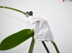 <p> Fixaţi un săculeţ cu turbă în locul de inserţie al unui keiki pe tija florală.</p>