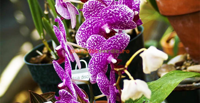 Phalaenopsis va aprecia dacă veţi așeza ghiveciul pe o tavă cu pietriș; apa nu va bălti în farfurie iar orhideea va avea umiditate.