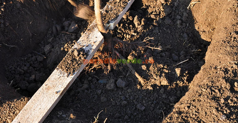 4. Rădăcinile trebuie așezate comfortabil pe mușuroiul de pe fundul gropii.