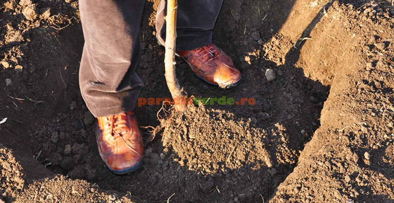 5. Tasarea pământului în jurul rădăcinilor