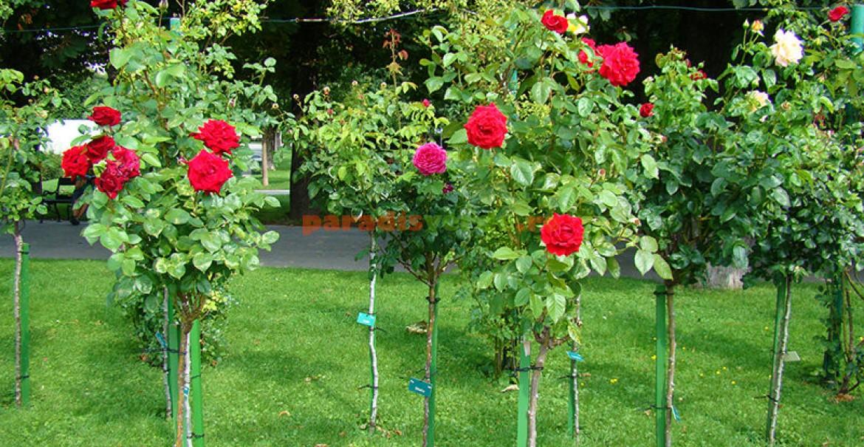 Trandafiri pomişori în Grădinile Mirabelle din Salzburg