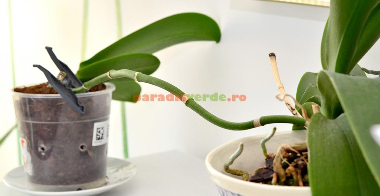 Un keiki transplantat anticipat poate rămâne legat de planta mamă până la uscarea tijei.