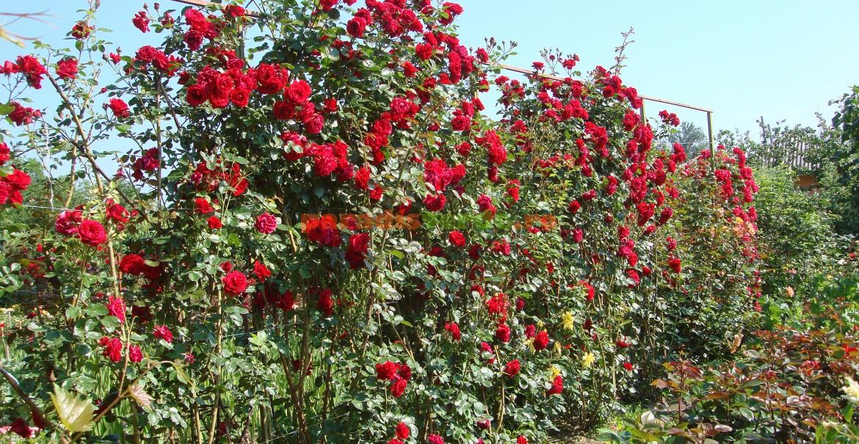 Un parapet de trandafiri Sympathie în luna iunie