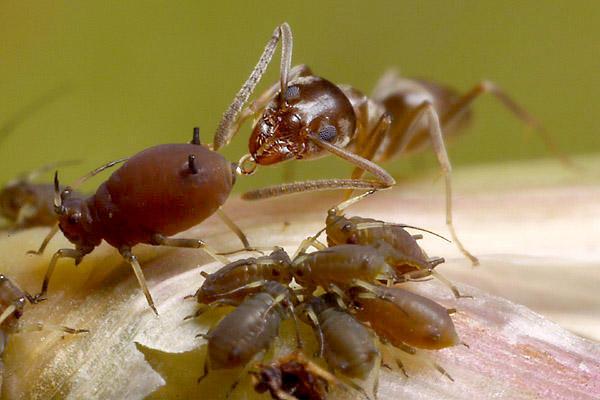 remediu pentru erecția furnicilor se modifică dimensiunea penisului odată cu vârsta
