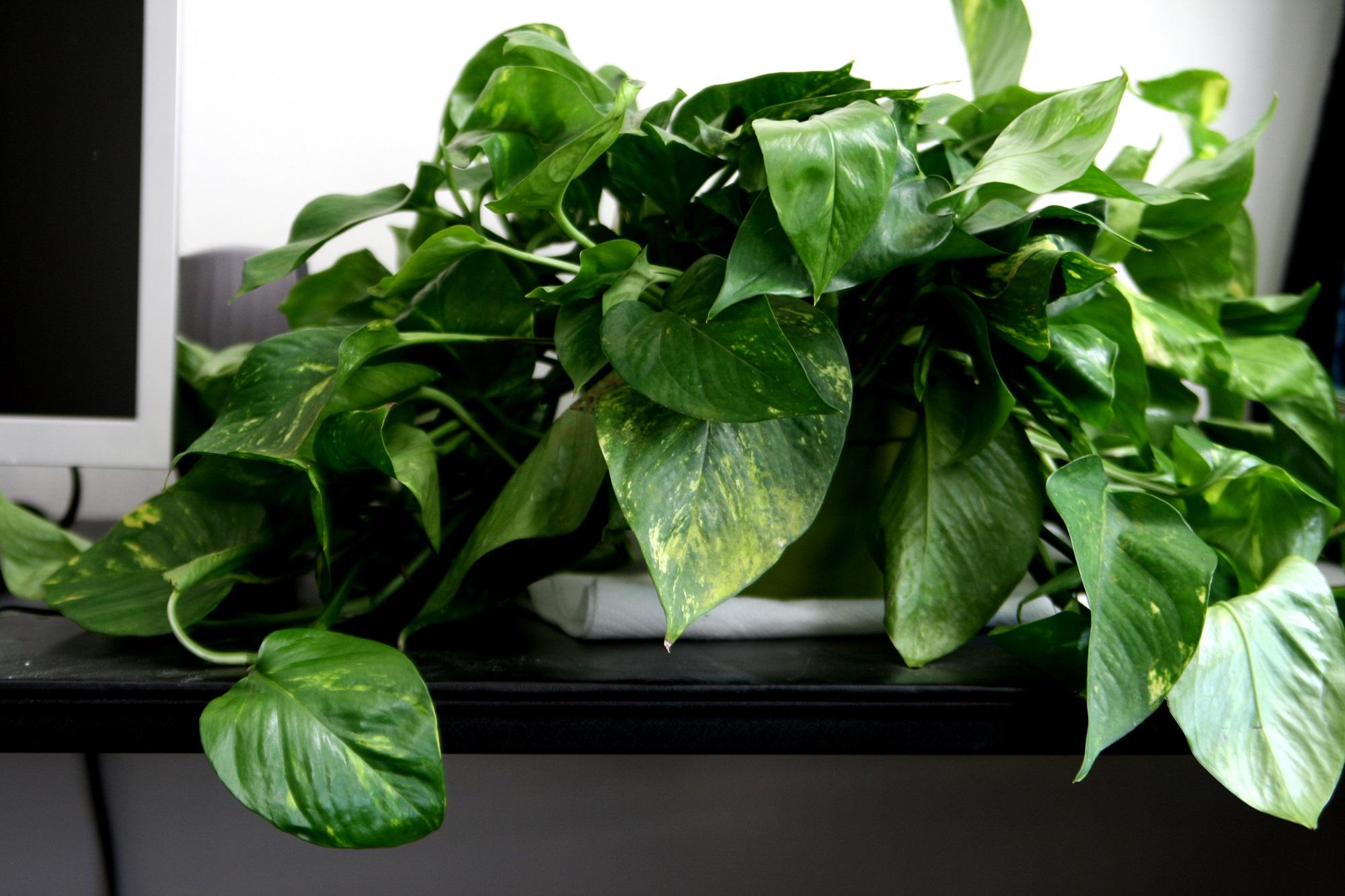 Plante Cu Frunze Decorative Paradis Verde