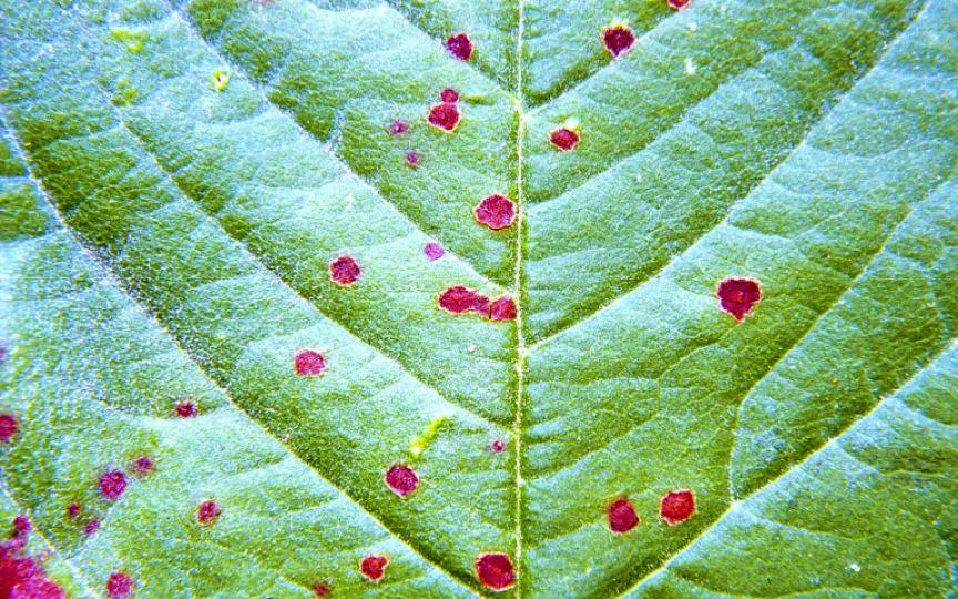 frunze frunze de la varicoză