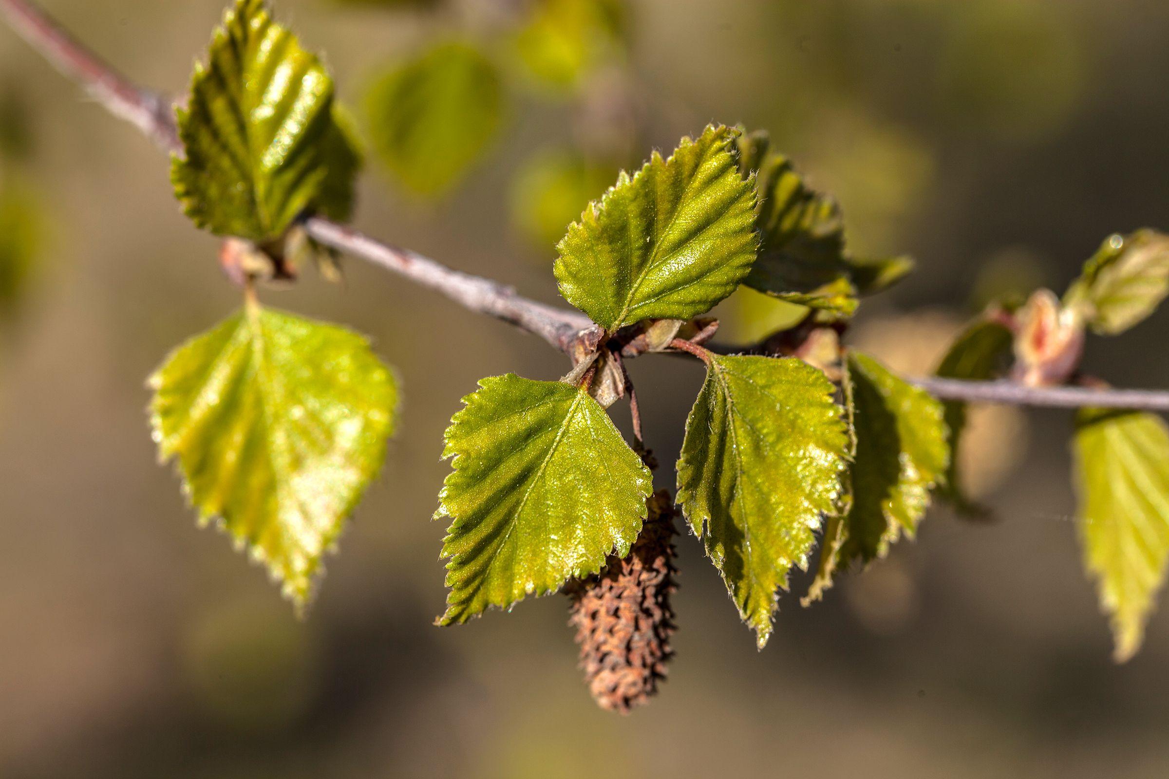 tratament comun cu frunza de mesteacăn