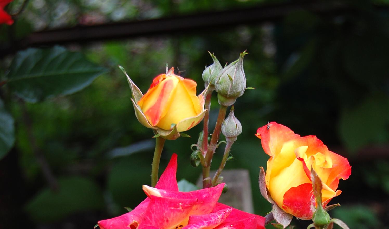 dacă o trandafir ajută la varicoză)