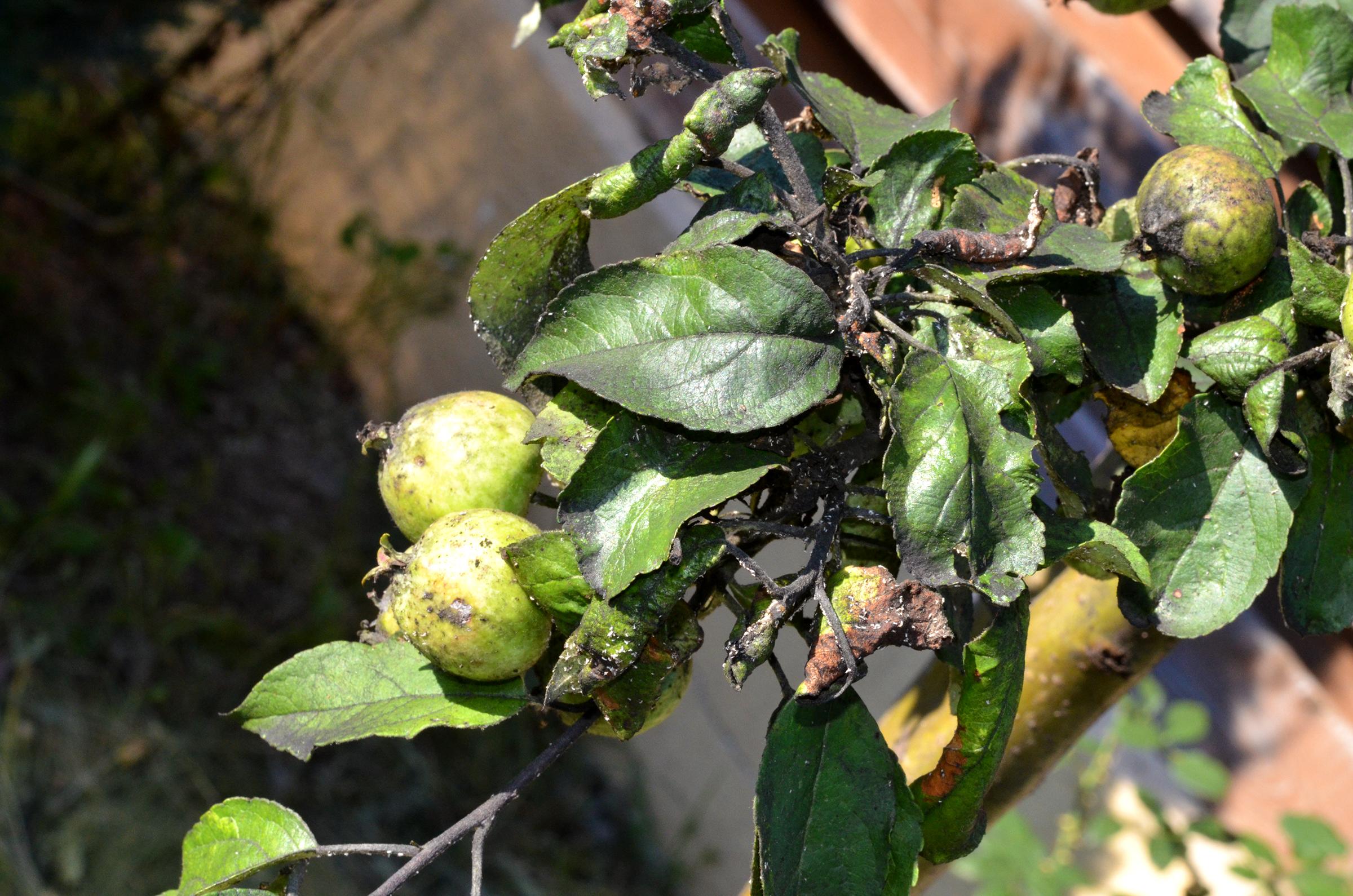 Gloxinia Terry Purple. Gloxinia Makhrovka și soiul său de varietate. Apariția atractivă