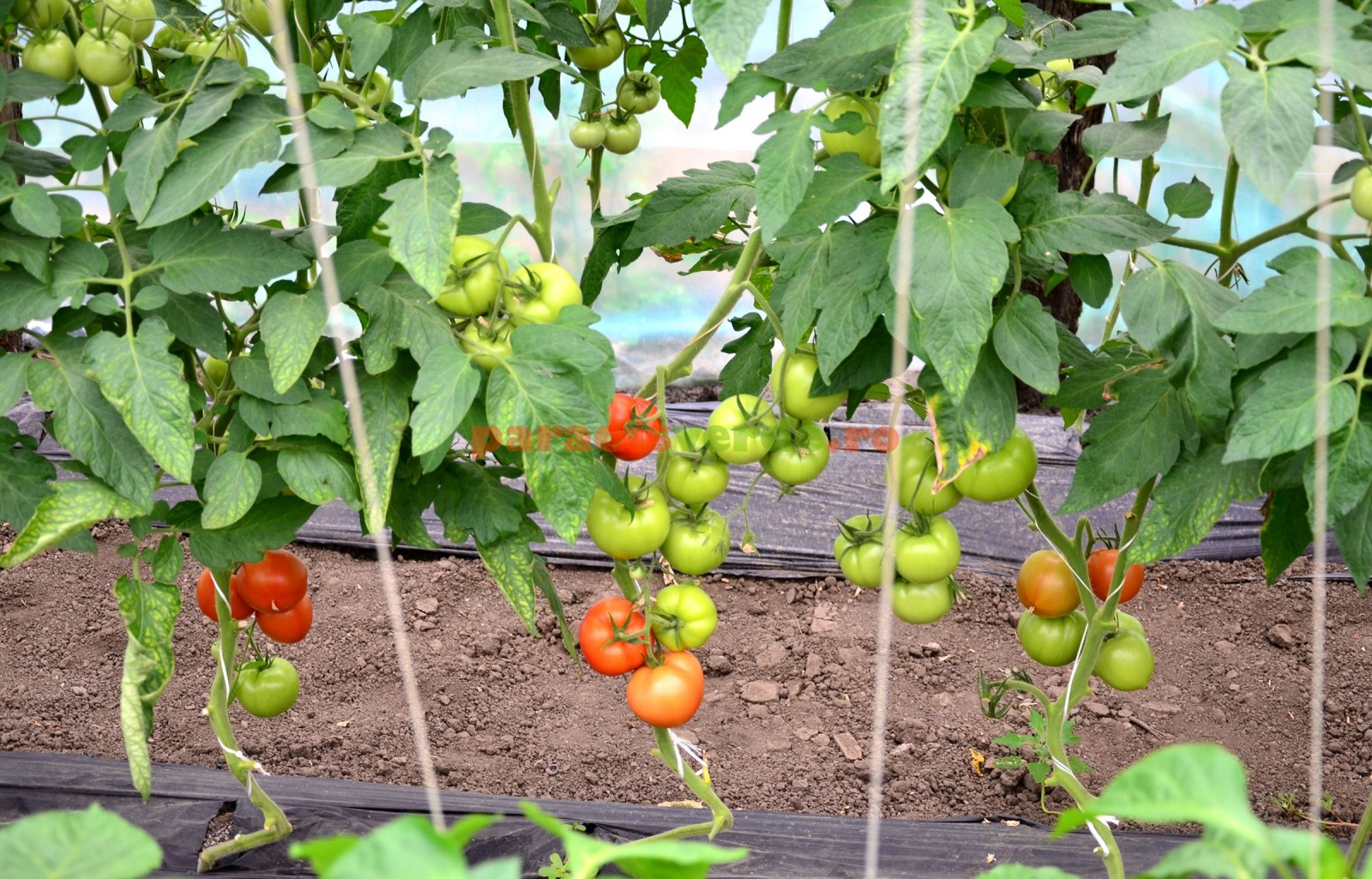 ingrijirea tomatelor