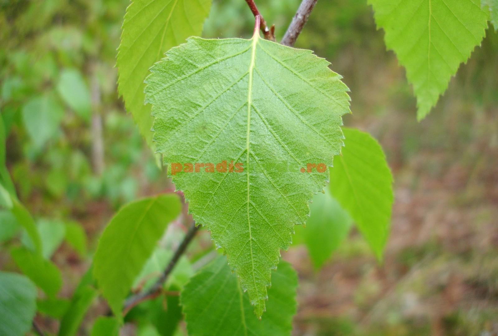Tratamentul artrozei cu frunze de mesteacăn - apartament-in-cluj.ro