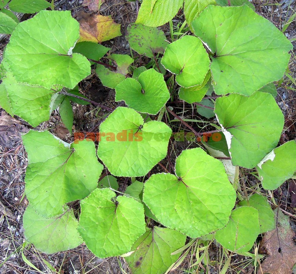 lavra frunze decocă cu varicoză