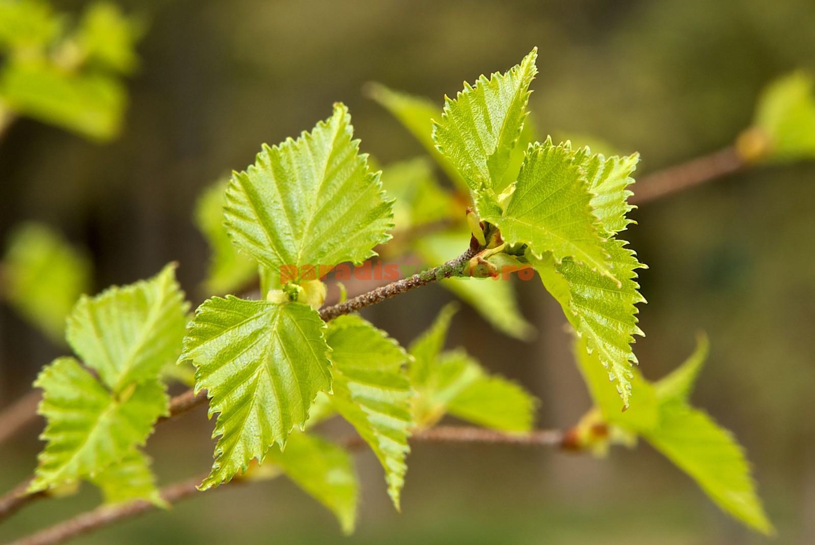 Artroza tratarea frunzelor de artar