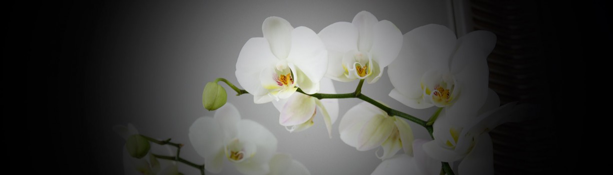 Tijă floriferă de orhidee