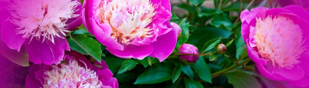 Tufă de bujori roz cu centrul alb