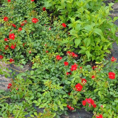 Trandafir târâtor în parcarea de la Mall Băneasa, Bucureşti