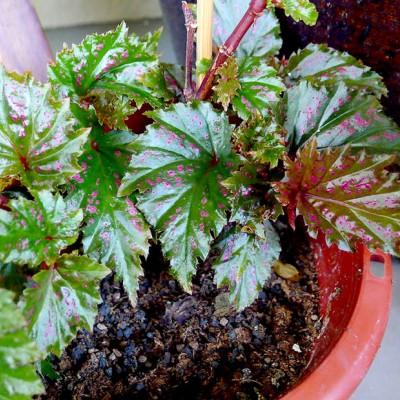 Begonia Cleopatra, cu port compact, foarte întâlnită