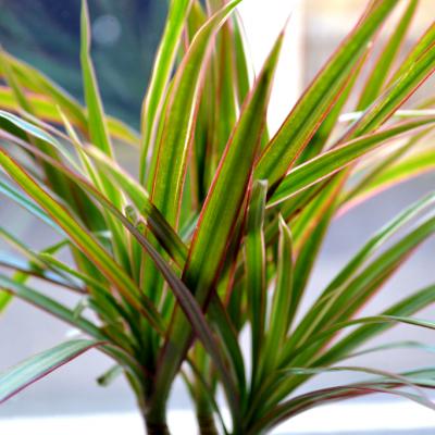 Dracaena marginata, seamănă un pic cu yucca şi se simte foarte bine în condiţiile din interior.