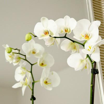 Phalaenopsis, Jumbo x G. de Preville