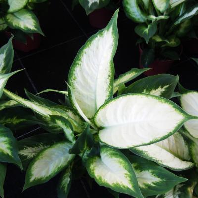 Dieffenbachia picta, Mariann: puritate