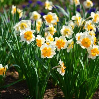Narcisele, splendorile lunii aprilie