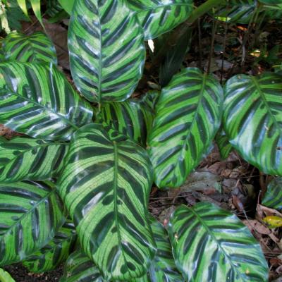 Calathea makoyana: cea mai răspândită specie