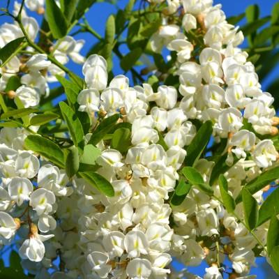 Flori splendide de salcâm!