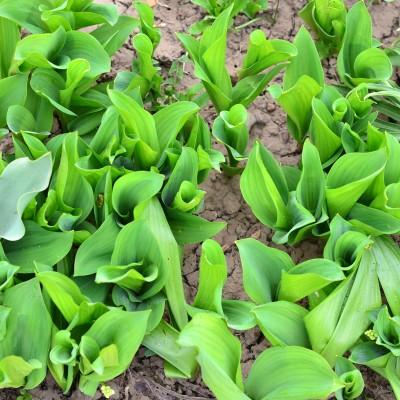 Lăcrămioare incorect îngrijite produc puține flori