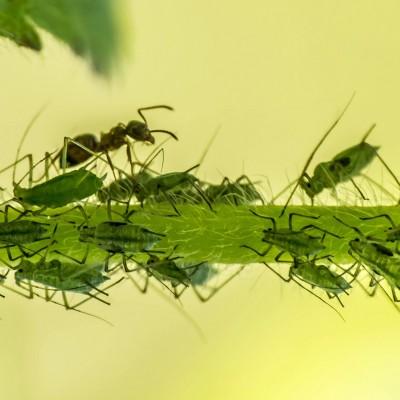 Păduchele verde al piersicului