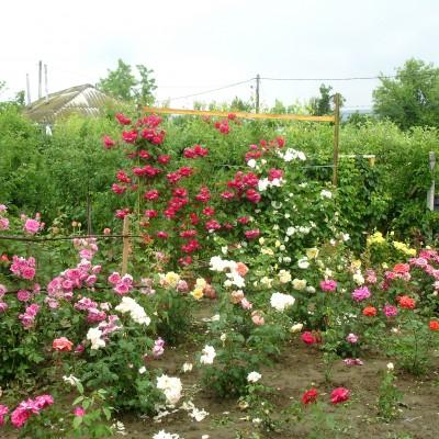 Grădină tânără de trandafiri