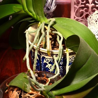Rădăcini de orhidee care nu mai încap în ghiveci