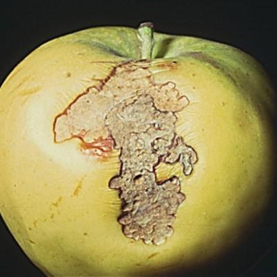 Măr atacat de molia pieliței fructelor