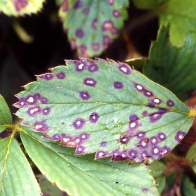 Frunză îmbolnăvită de pătarea albă
