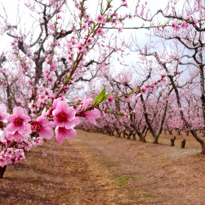 Piersicul este mai sensibil la brumă datorită numărului mare de bacterii glasogene care se găsesc în mod natural pe pomi
