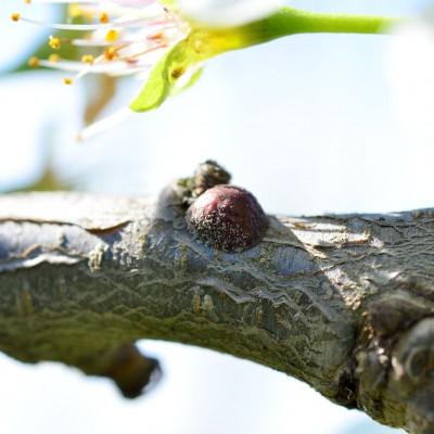 Un păduche țestos solitar