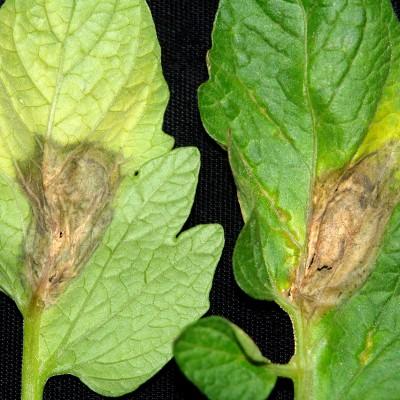 Pătarea facenie pe dosul (stânga) și pe fața frunzei (dreapa)