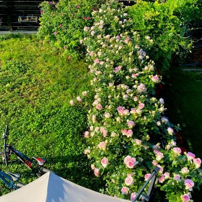 Gard florifer de Pink Peony