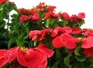 Euphorbia pulcherrima (Poinsettia sau Steaua Crăciunului)