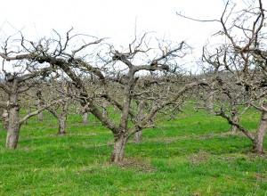 Pomi cu coroană de mici dimensiuni, în formă de palmetă etajată, cu vârstă de peste 40 ani.