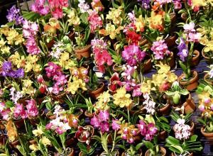 Orhideele terestre se simt foarte bine în ghivece ceramice, chiar şi neperforate.