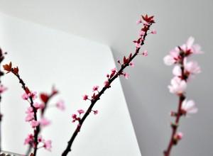 Ramuri de prun şi piersic înflorite în casă, la începutul lui martie: o splendoare!