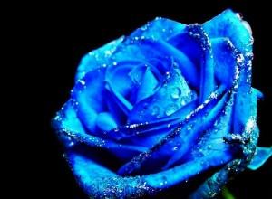 Un splendid trandafir albastru obţinut în ...Photoshop!
