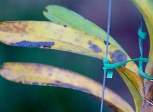 Orhidee grav bolnavă.