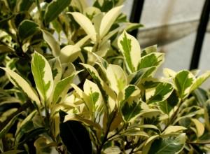 Ficus benjamina, frunze panaşate