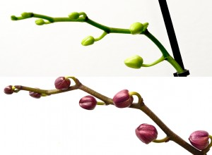 Bobocii din imaginea superioară sunt mai slab dezvoltaţi, deoarece planta a fost ţinută într-o cameră întunecoasă, departe de fereastră.