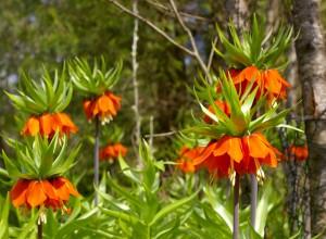 Floarea Paştelui