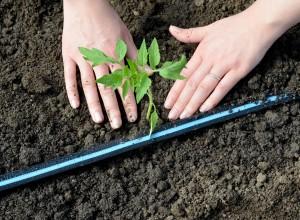 Plantare răsaduri tomate