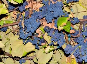 Când se coc, strugurii inundă curtea cu un parfum îmbătător de fragi.