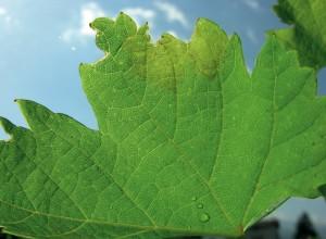 Petele untdelemnii sunt primele semne de infecție, care anunță atacul de mană